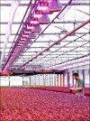 Rote LEDs im Gewächshaus