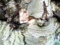 Gestanzte Schweißnaht einer Veredelung, © Sachverständigenbüro Braukmann/KIT